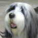 Go to The Shaggy Dog Image 4